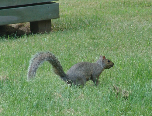 There are a lot of squirels in my yard ...