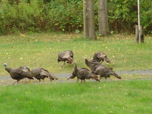 Something they missed - The wild turkeys running around in my front yard ...